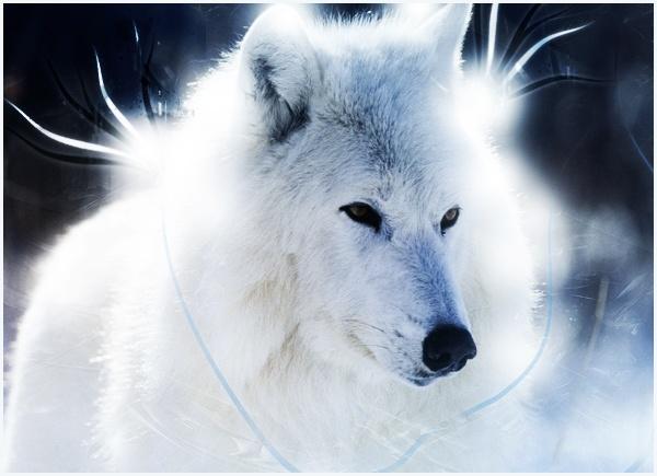 Wolf-Wallpaper-On-Desktop