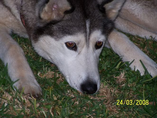 My Siberian Husky, Buffy