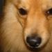 foxy, my dog