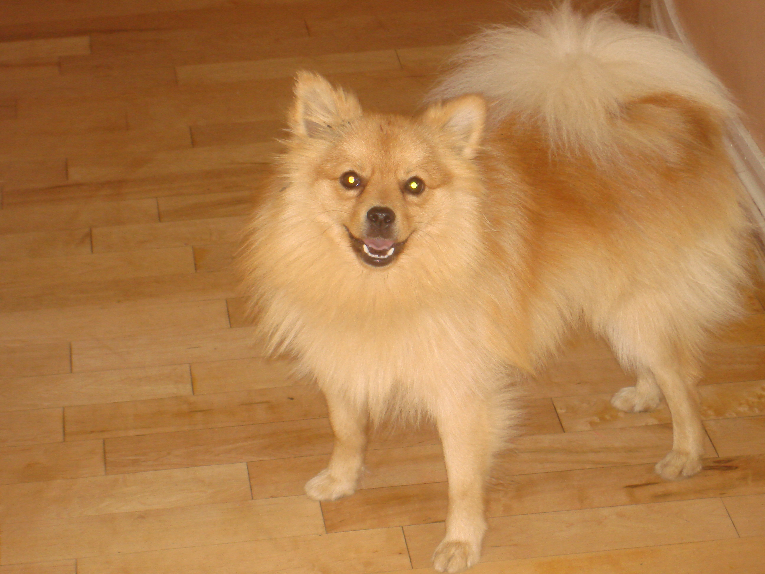 My Pet Pomeranian Foxy From Xxxzzz1 Hosted By Neoseeker