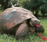 the late Harriet, a 175 yr. old Galapagos tortoise