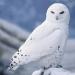 Polar Owl...HEDWIG??
