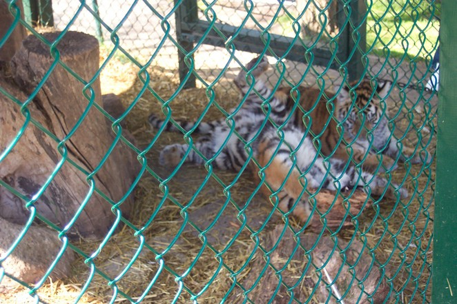 Tiger kits!!