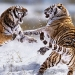 Siberian tigers fighting