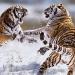 Siberian tigers fighting