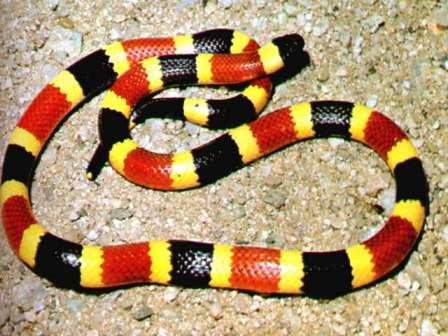 http://i.neoseeker.com/mgv/436139-Triforce%20of%20Wisdom/139/46/coralsnake_display.jpg