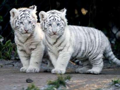 TIGERS CUBS