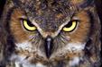 badass Great Horned Owl aka Tiger Owl <3 *_*