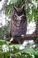 The Great Horned Owl aka Tiger Owl