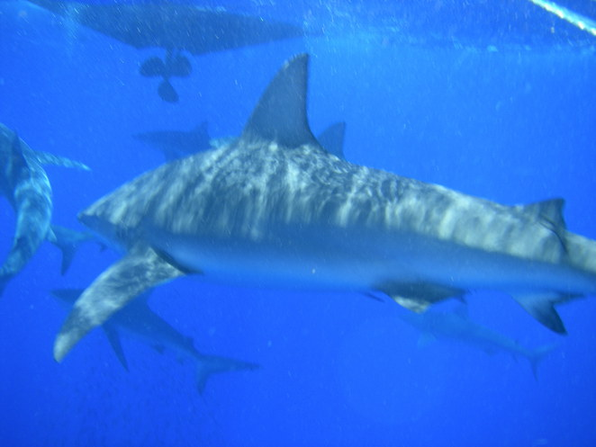 25 sharks surround Cage. Oahu
