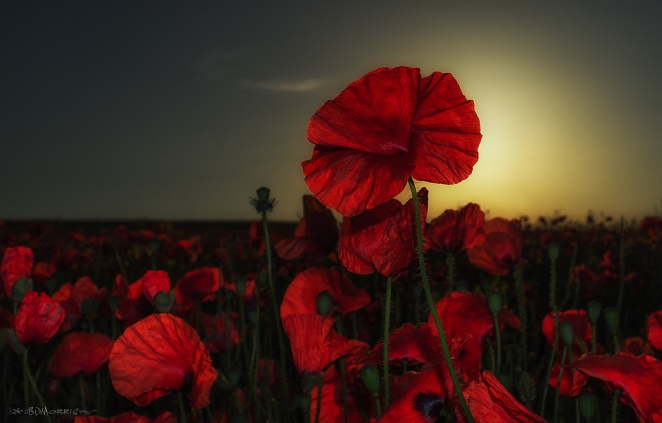 Poppy Sundown