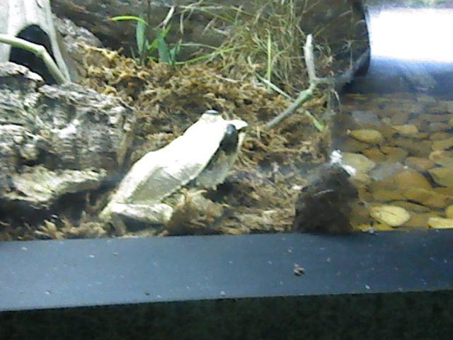 Malayan Horned Frog